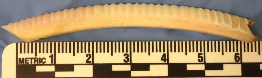 Sequential sampling of tooth enamel along the mandibular incisor from a modern Common wombat.